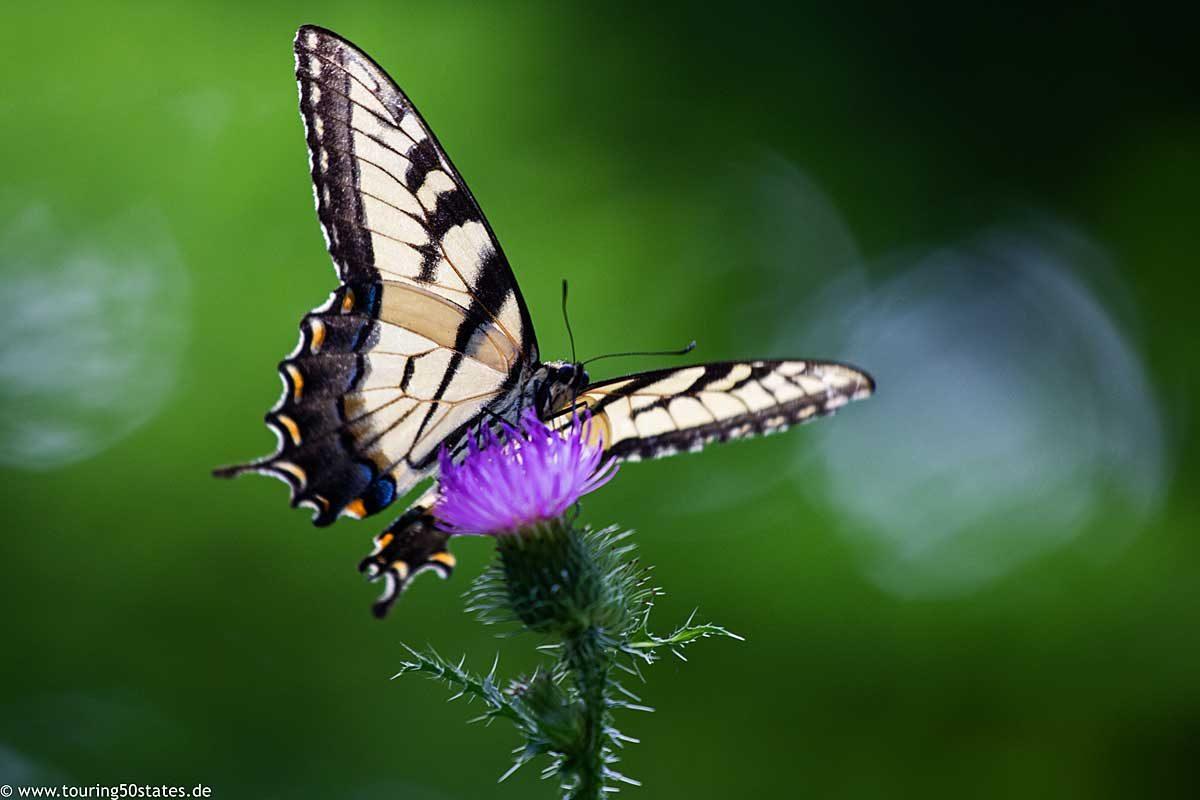 Einer von vielen Schmetterlingen am Wegesrand des Appalachian Trail