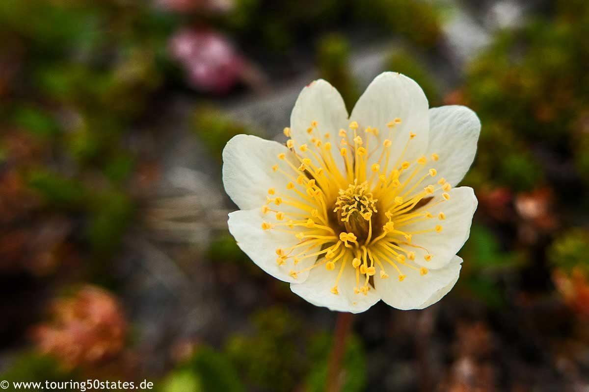Die Blüte des arktischen Mohn auf Magerøya